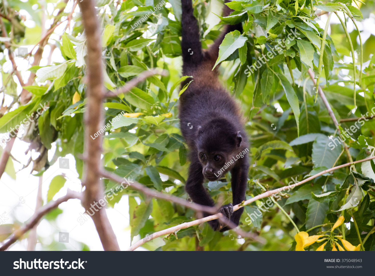 young howler monkey hanging by his stock photo 375048943