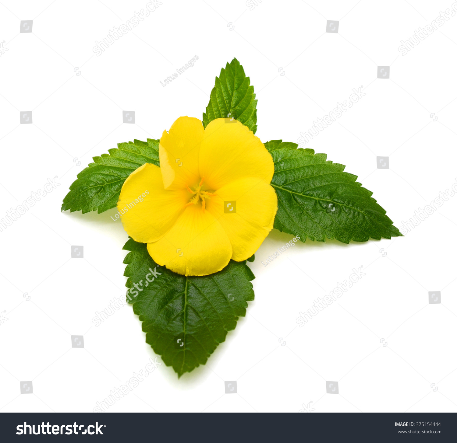 Beautiful Yellow Sage Rose Flower With Dew Isolated On White