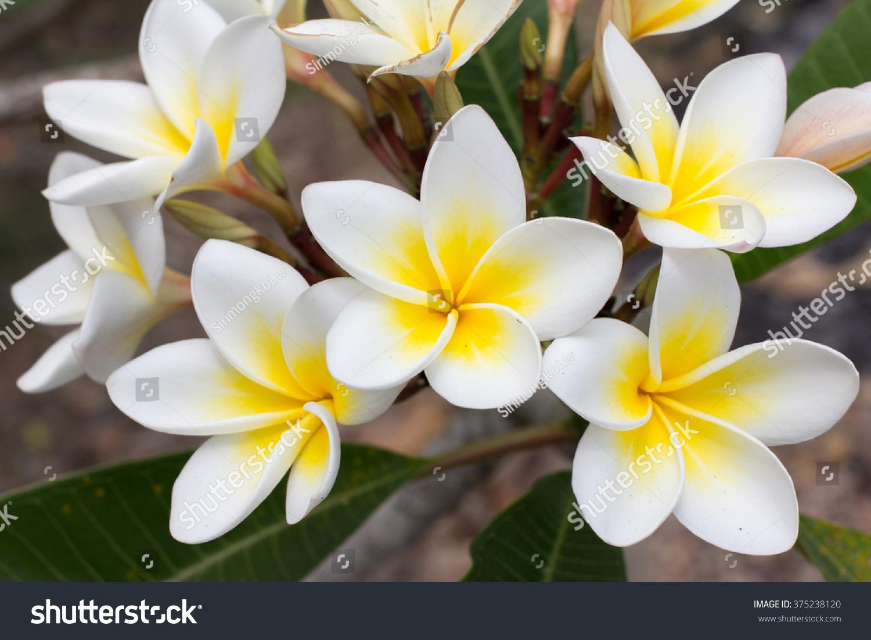 White Yellow Plumeria Frangipani Flowers Leaves Stock Photo Edit