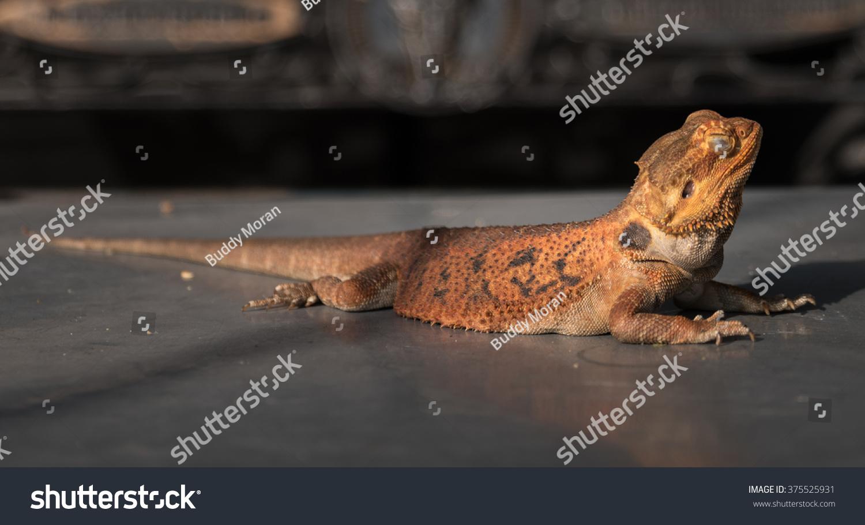 pet oriental garden lizard market area stock photo (edit now