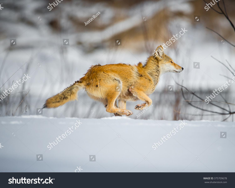 Coyote Running Stock Photo 375709678 : Shutterstock  Coyote Running ...