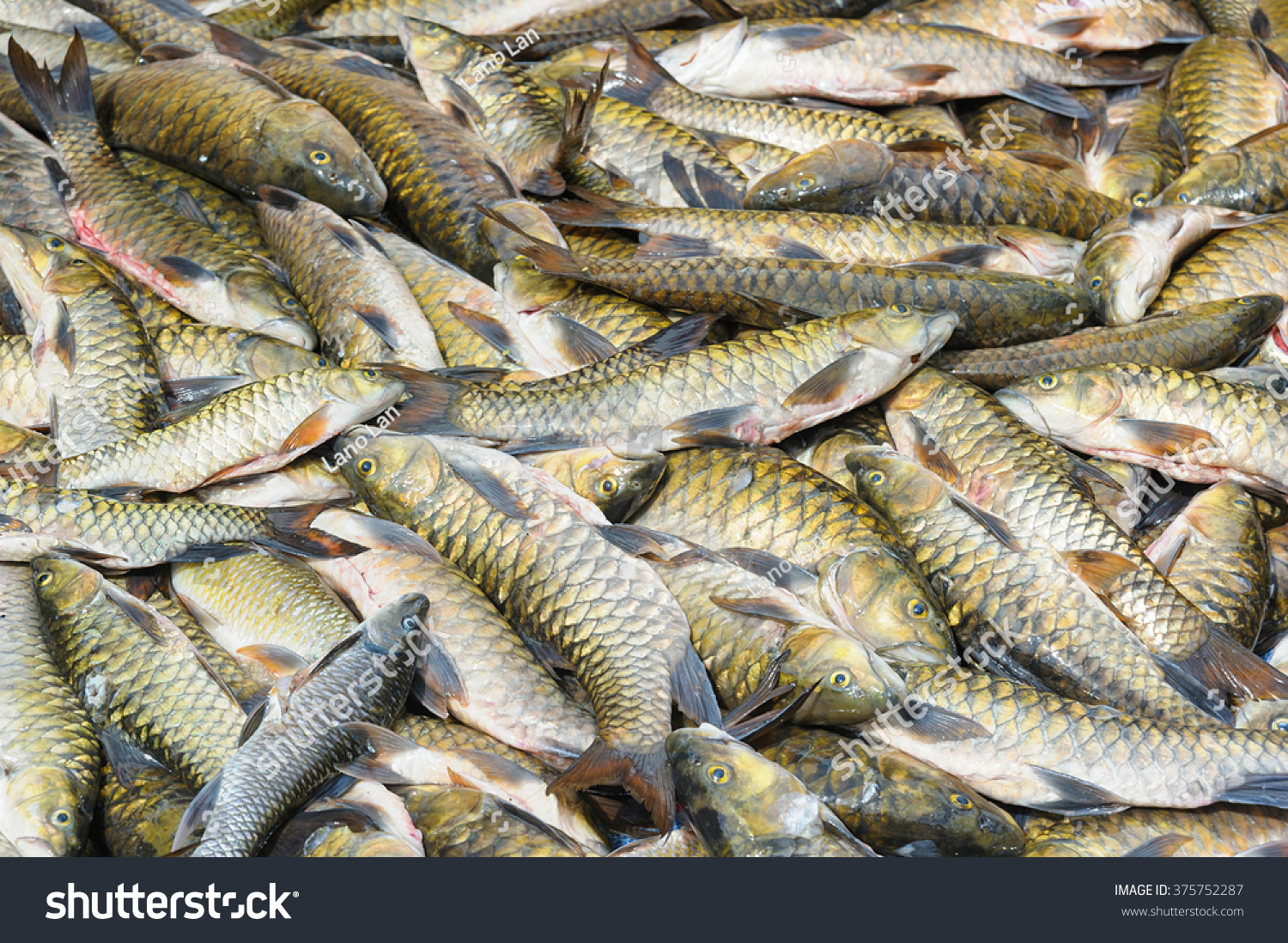 Freshwater fish in malaysia - Malaysian Fresh Water Fish Called Malaysian Mahseer Or Kelah Or Pelian This Fish Is Famous