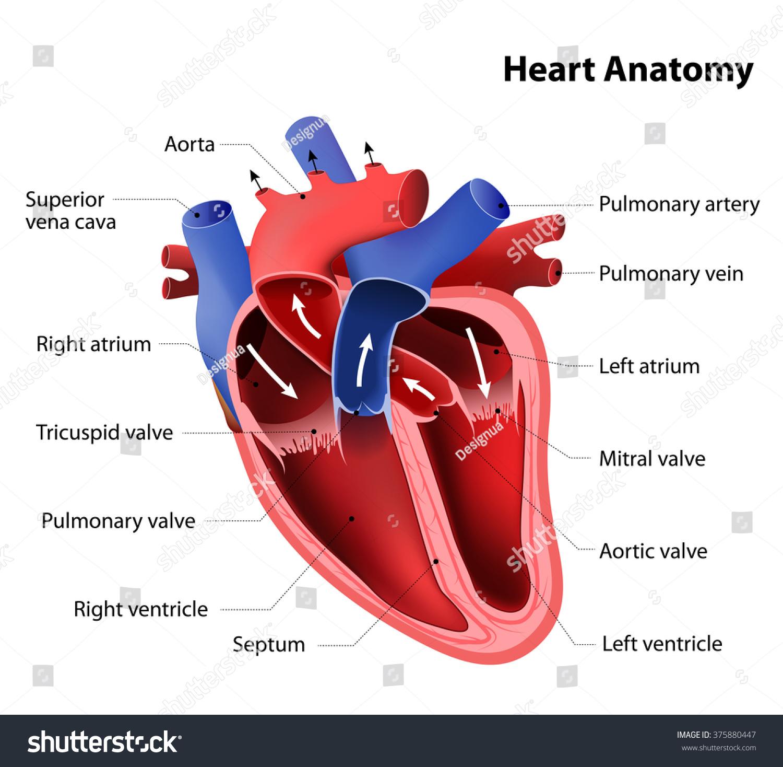 Heart Anatomy Stock Illustration 375880447 - Shutterstock