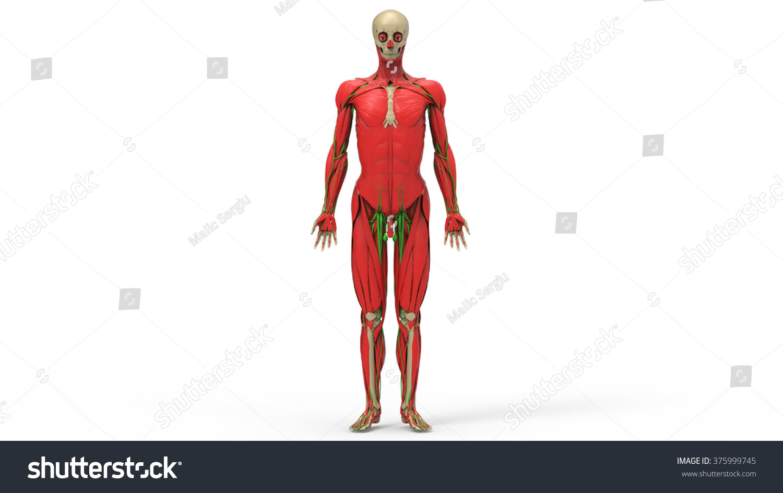 Human Skeleton Posterior Anterior View Didactic Stock Illustration