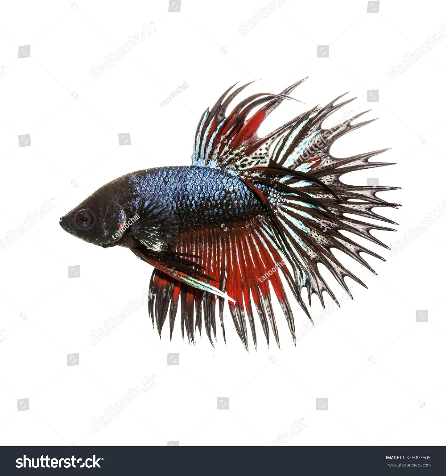 Siamese fighting fish betta splendens crown stock photo for Crown betta fish