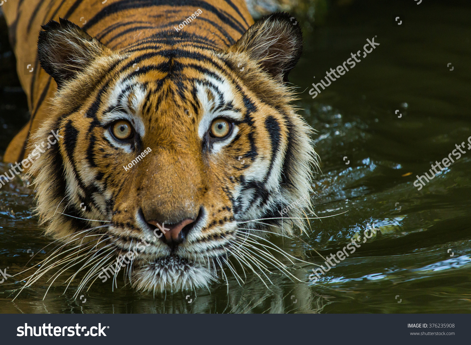 Bengal tiger swimming show head looking stock photo - Show me a picture of the tiger ...