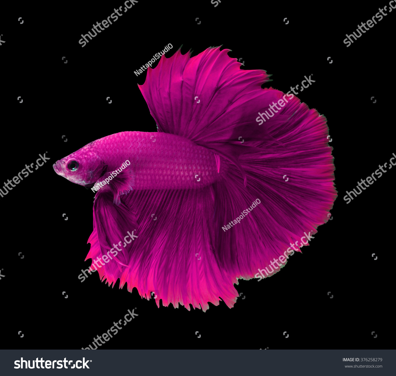 Pink siamese fighting fish halfmoon betta fish isolated on for Pink betta fish