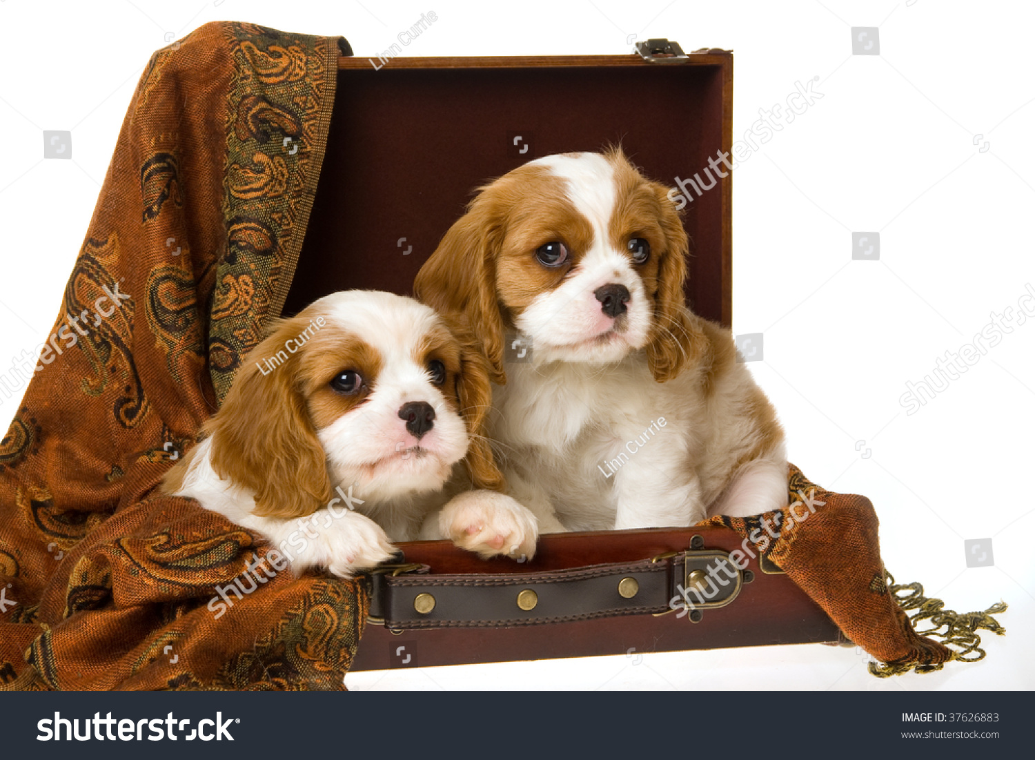 2 Cute Cavalier King Charles Spaniel Stock Photo Edit Now 37626883