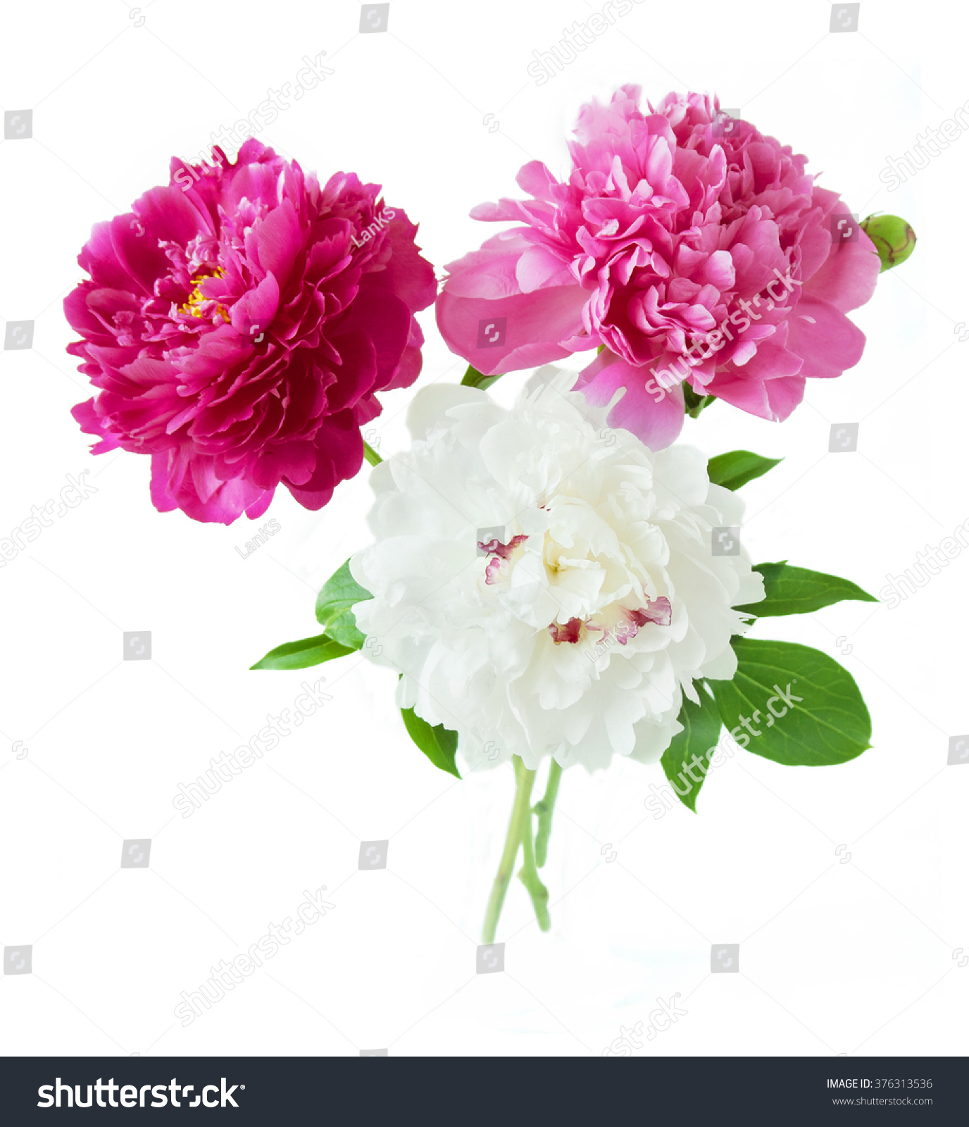 Pink Purple And White Peony Flowers Bunch Isolated On White