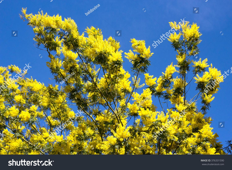 Royalty free yellow mimosa tree in flower acacia 376331590 stock yellow mimosa tree in flower acacia dealbata liguria italy the yellow mightylinksfo