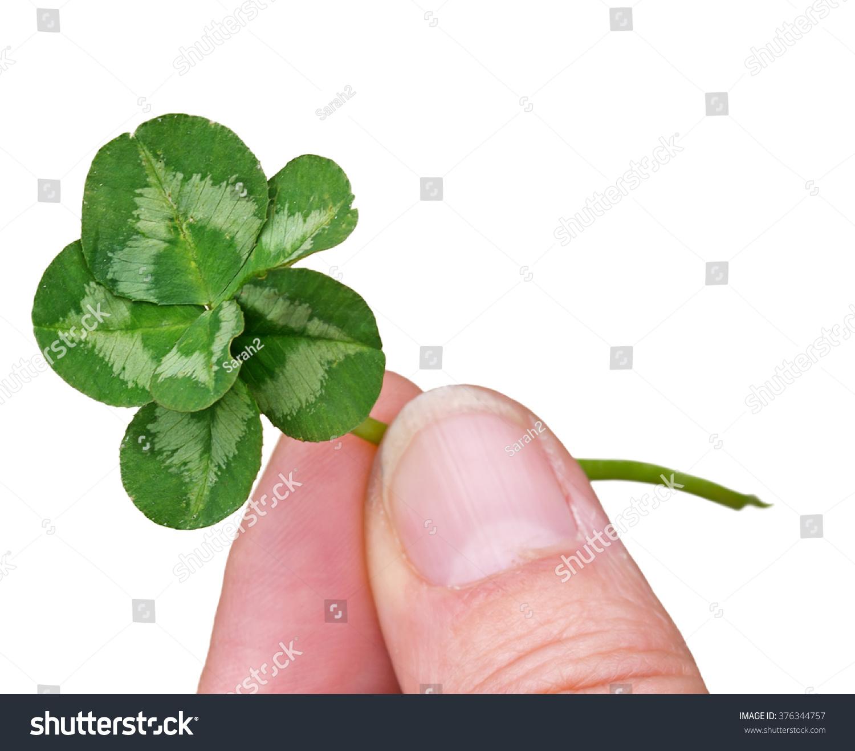 Genuine Six Leaf Clover Natural Mutation Stock Photo Edit Now