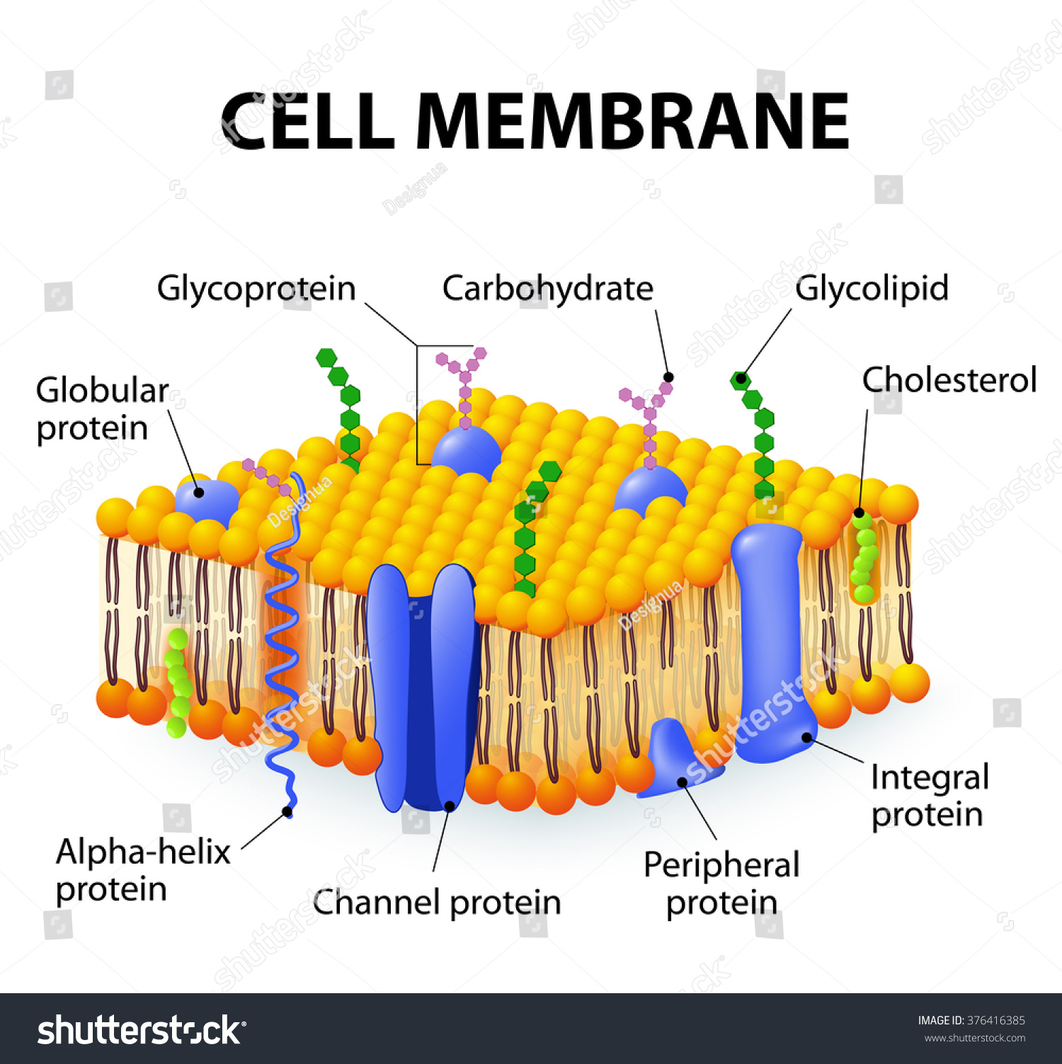 Cells competition time lessons tes teach detailed diagram models cell membrane stock vector 376416385 ccuart Images