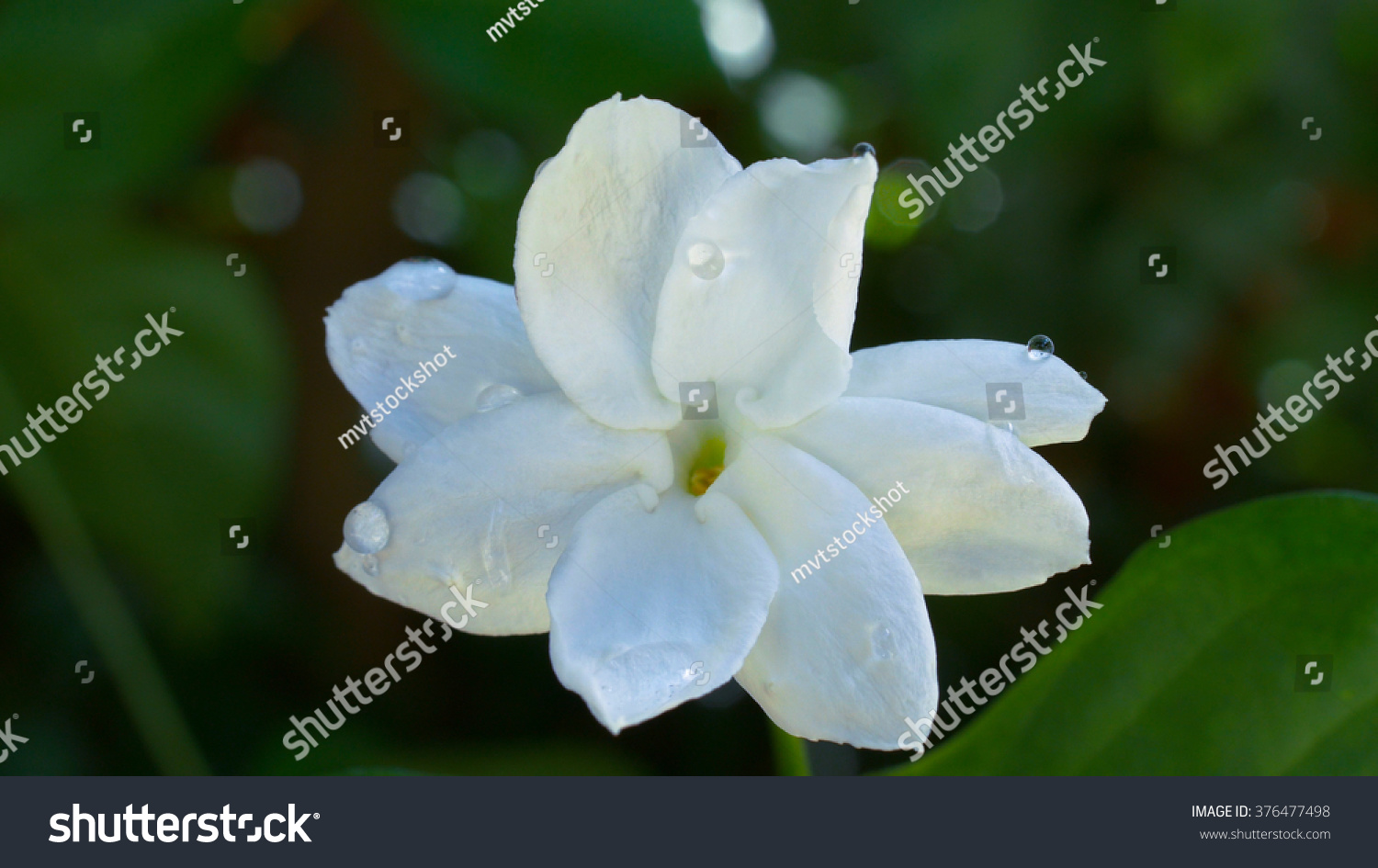 Jasmine Flower Stock Photo Royalty Free 376477498 Shutterstock