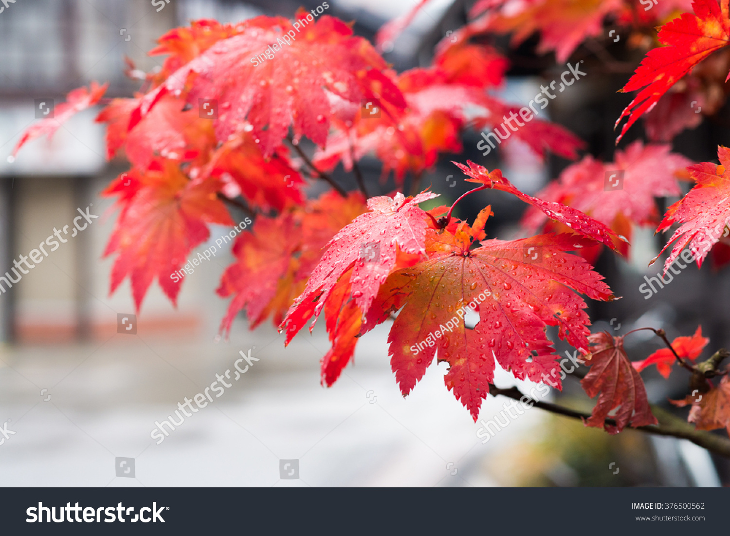 Japanese Red Maple leafs #376500562