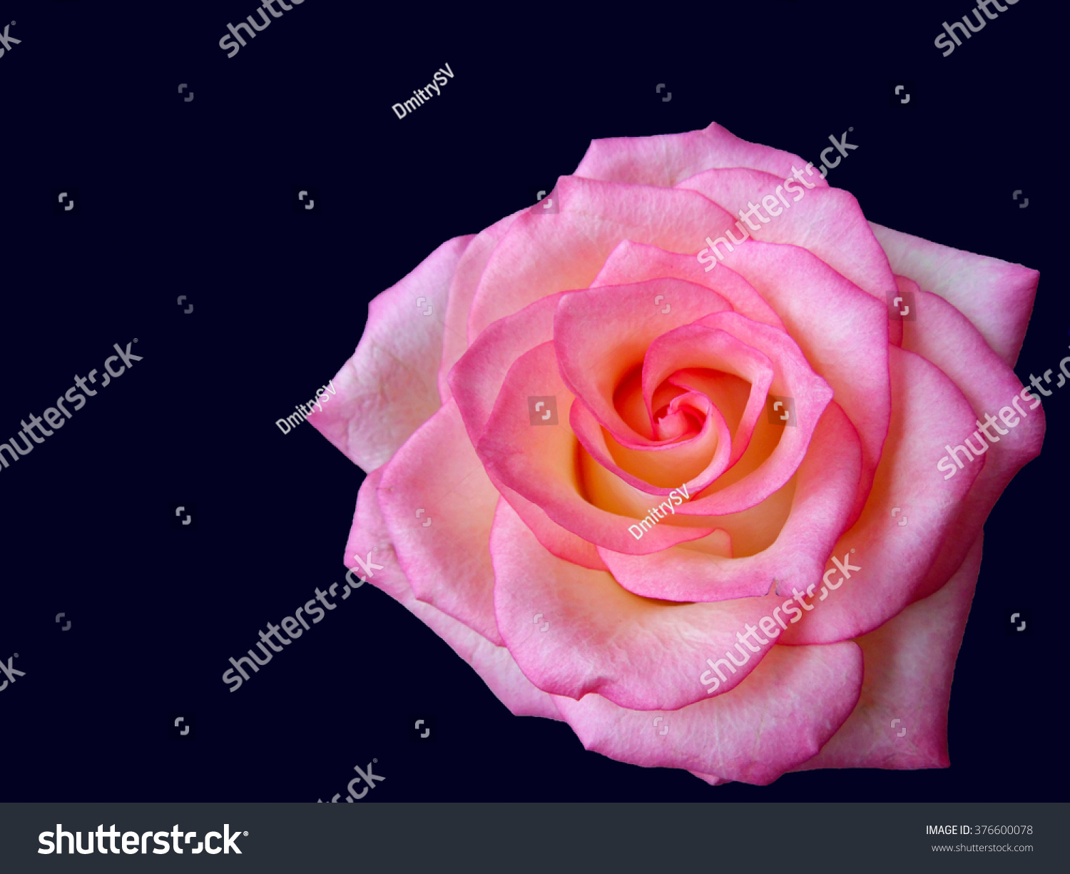 Rose flower these flowers often contain stock photo edit now rose flower these flowers often contain houses and cultivated gardens they are very beautiful izmirmasajfo
