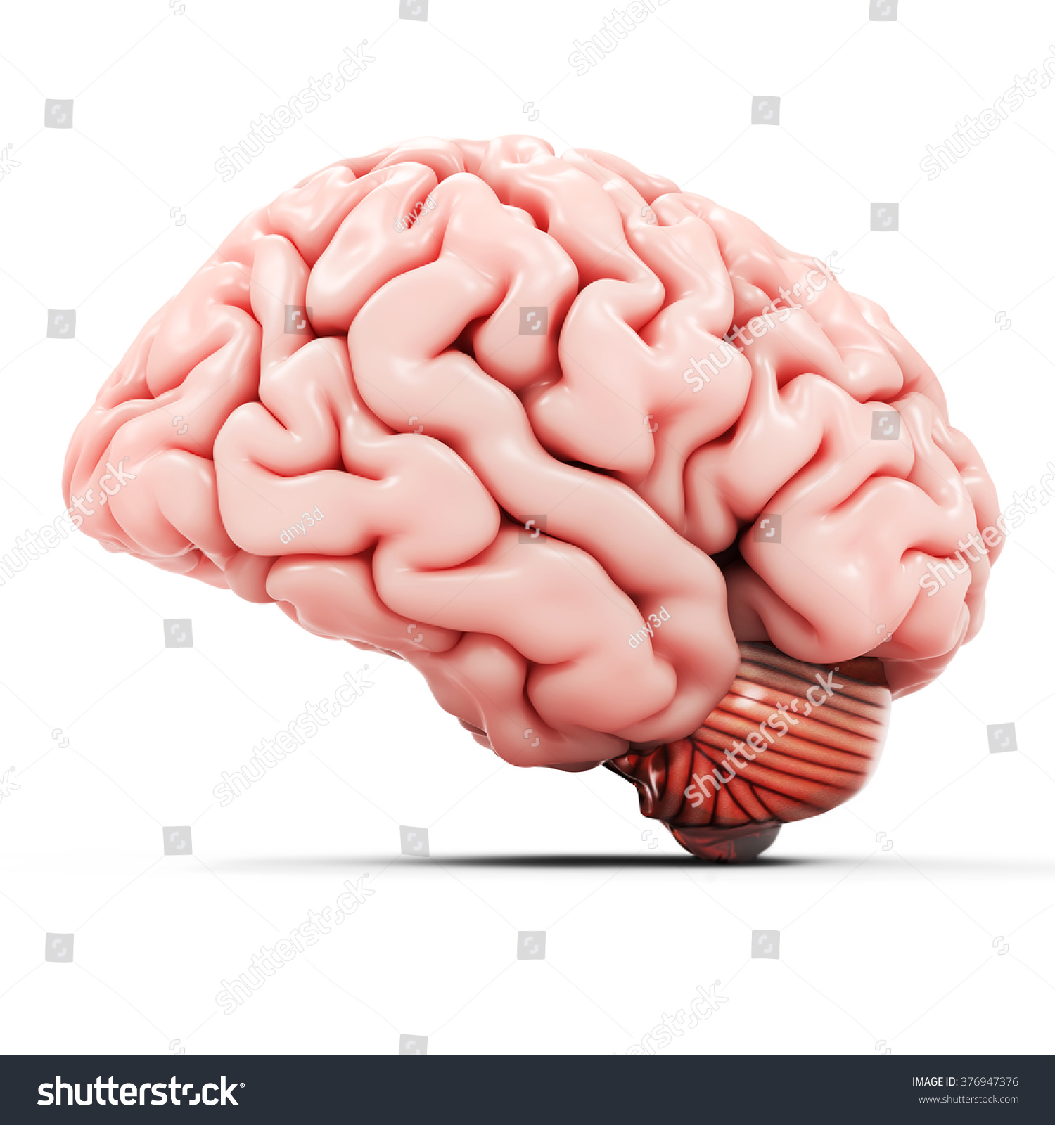 Royalty Free Stock Illustration Of 3 D Detailed Brain On White