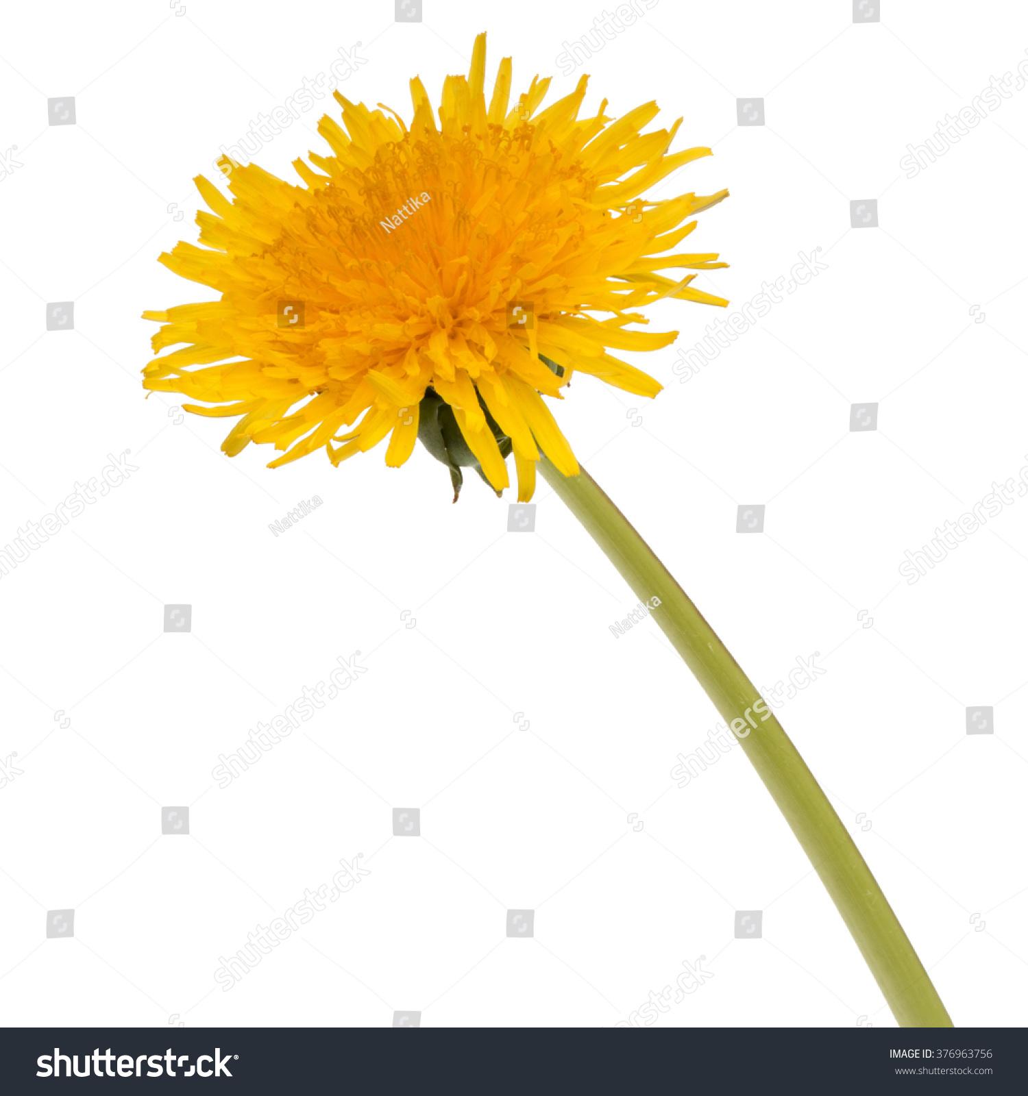 dandelion flower isolated on white background cutout | ez canvas