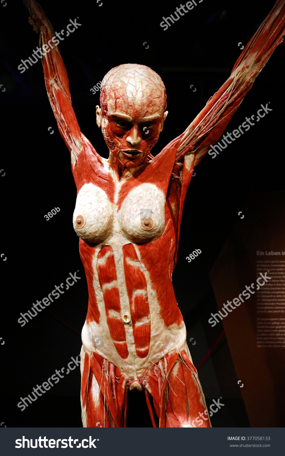 February 17 2015 Berlin Fully Plastinated Stock Photo Edit Now