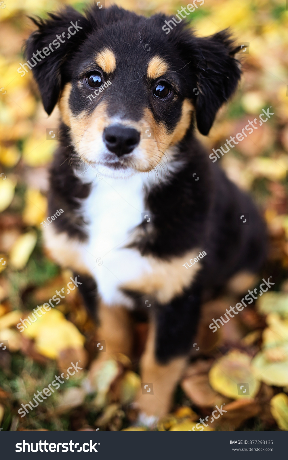 Adorable Tri Color Australian Shepherd Puppy Stock Photo Edit Now 377293135