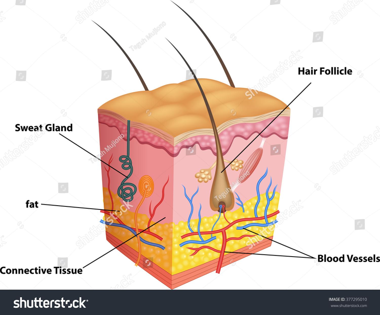 Illustration Layer Skin Pores Anatomy Stock Vektorgrafik Lizenzfrei