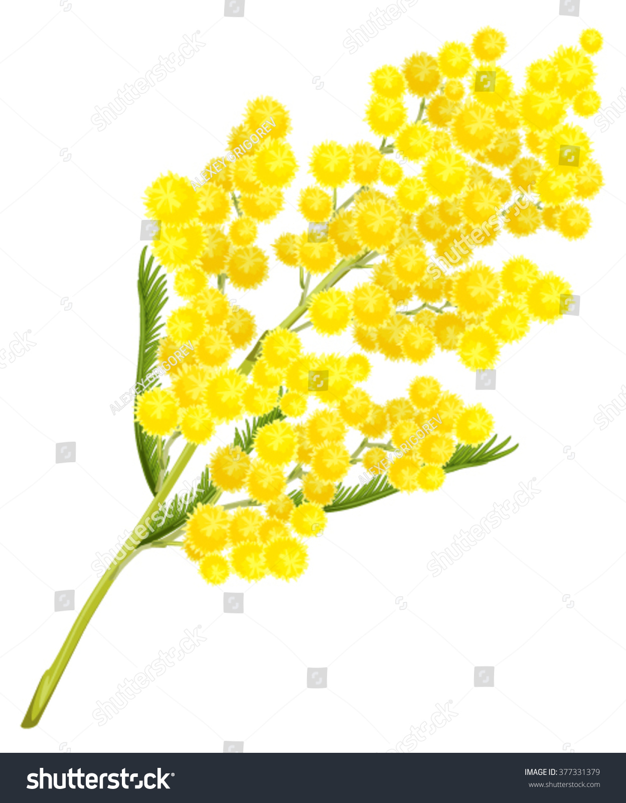 Yellow mimosa flower Isolated on white illustration