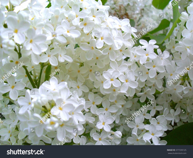 Beautiful Lilac Bush White Lilac Flowers Stock Photo 100 Legal