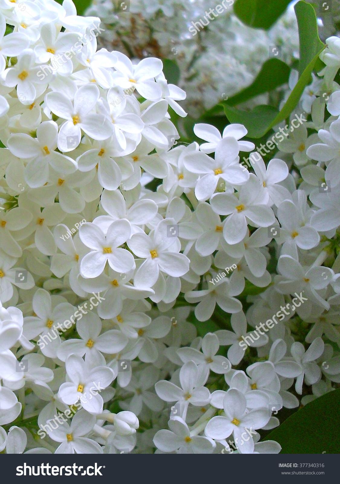 Beautiful Lilac Bush White Lilac Flowers Stock Photo Royalty Free