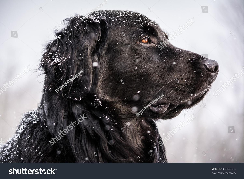 Snowcovered Black Newfoundland Golden Retriever Mix Stock Photo