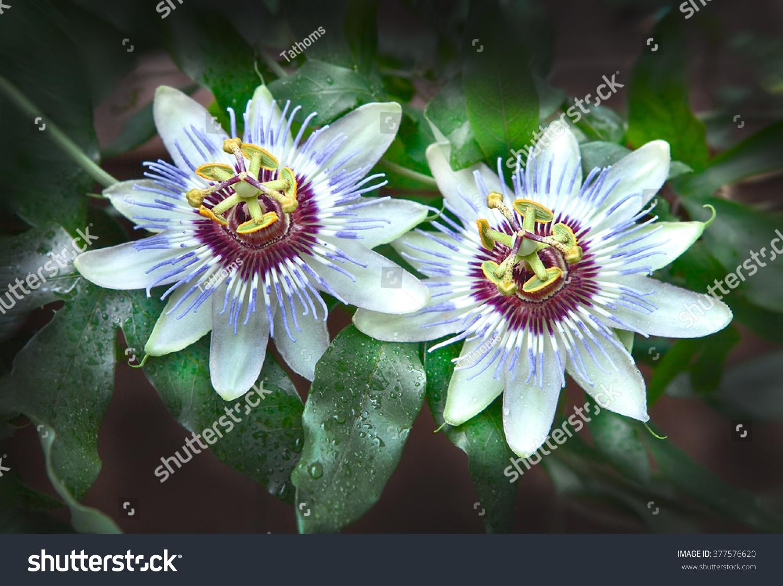 stock-photo--passion-flower-focus-on-sti