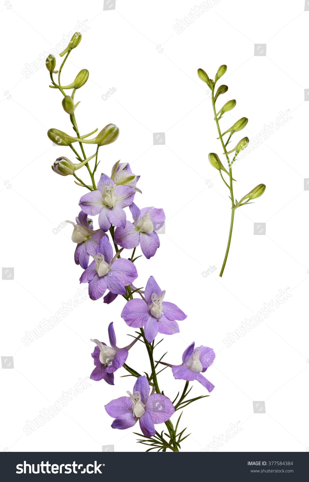 Delphinium Flowers Buds Isolated On White Stock Photo Edit Now