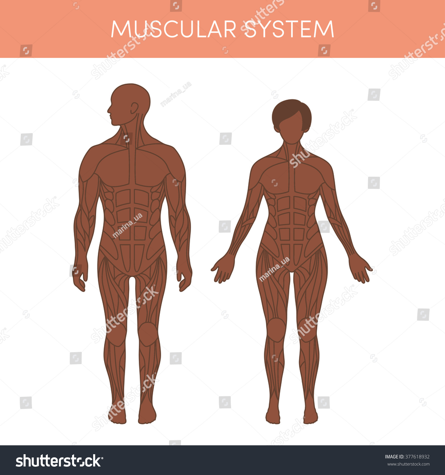 Muscular System Human Cartoon Vector Illustration Vector de ...