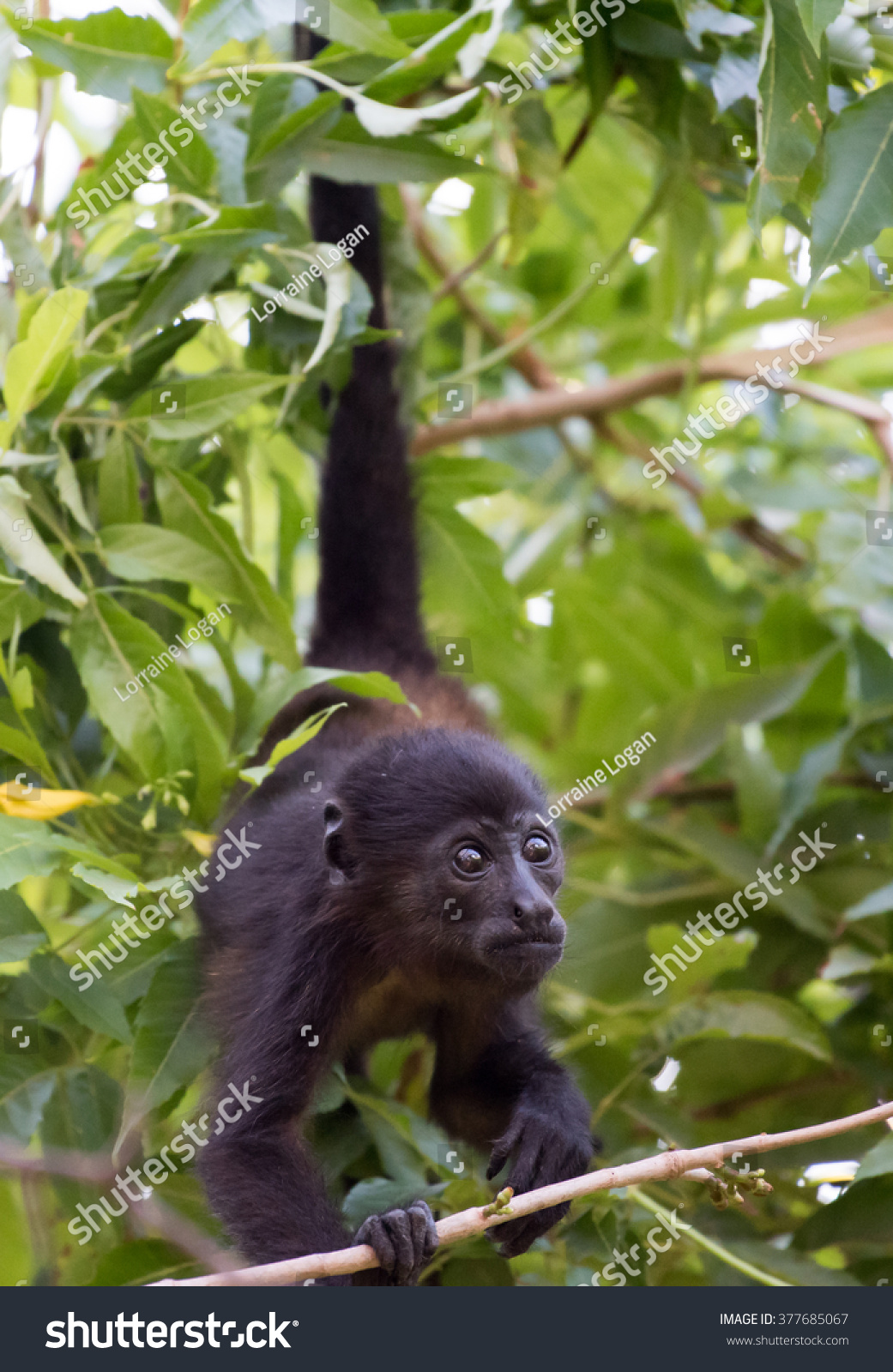 young howler monkey hanging upside down stock photo 377685067