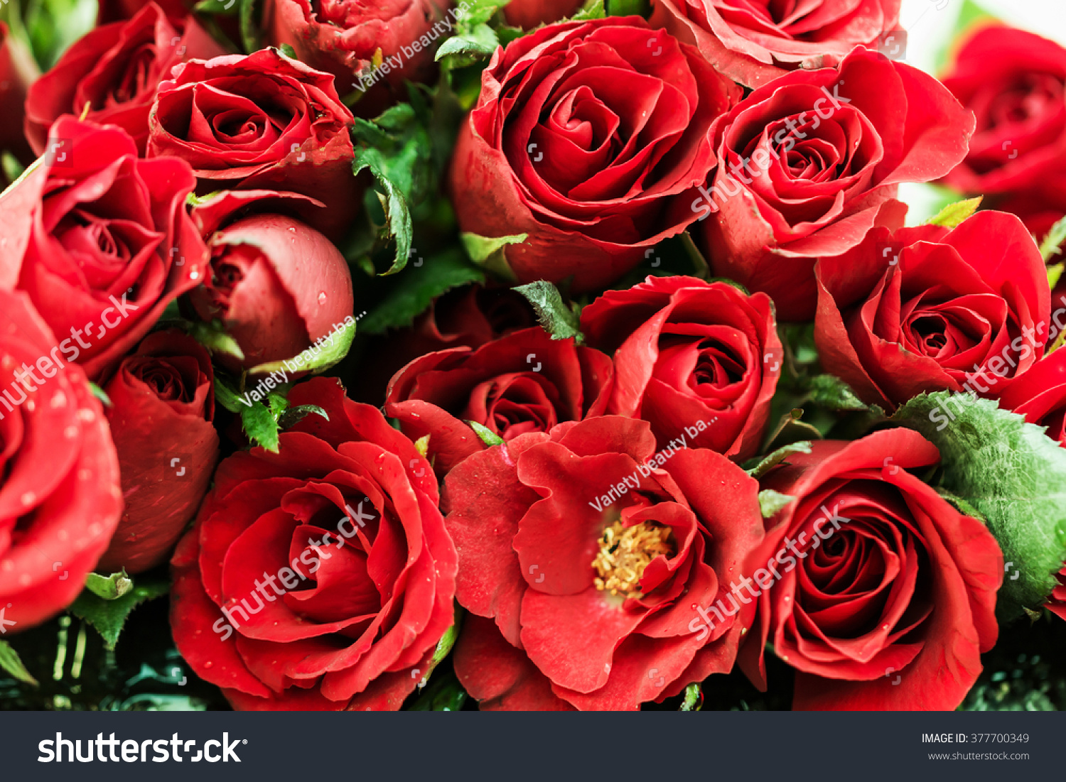 Red roses symbol love stock photo 377700349 shutterstock red roses are the symbol of love buycottarizona