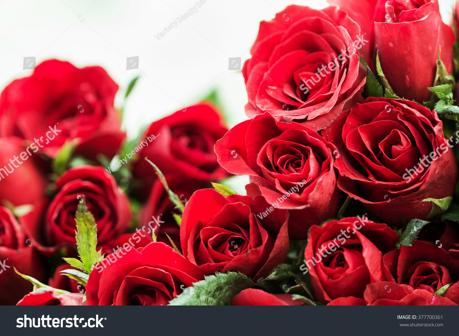 Red roses symbol love stock photo 377700361 shutterstock red roses are the symbol of love buycottarizona