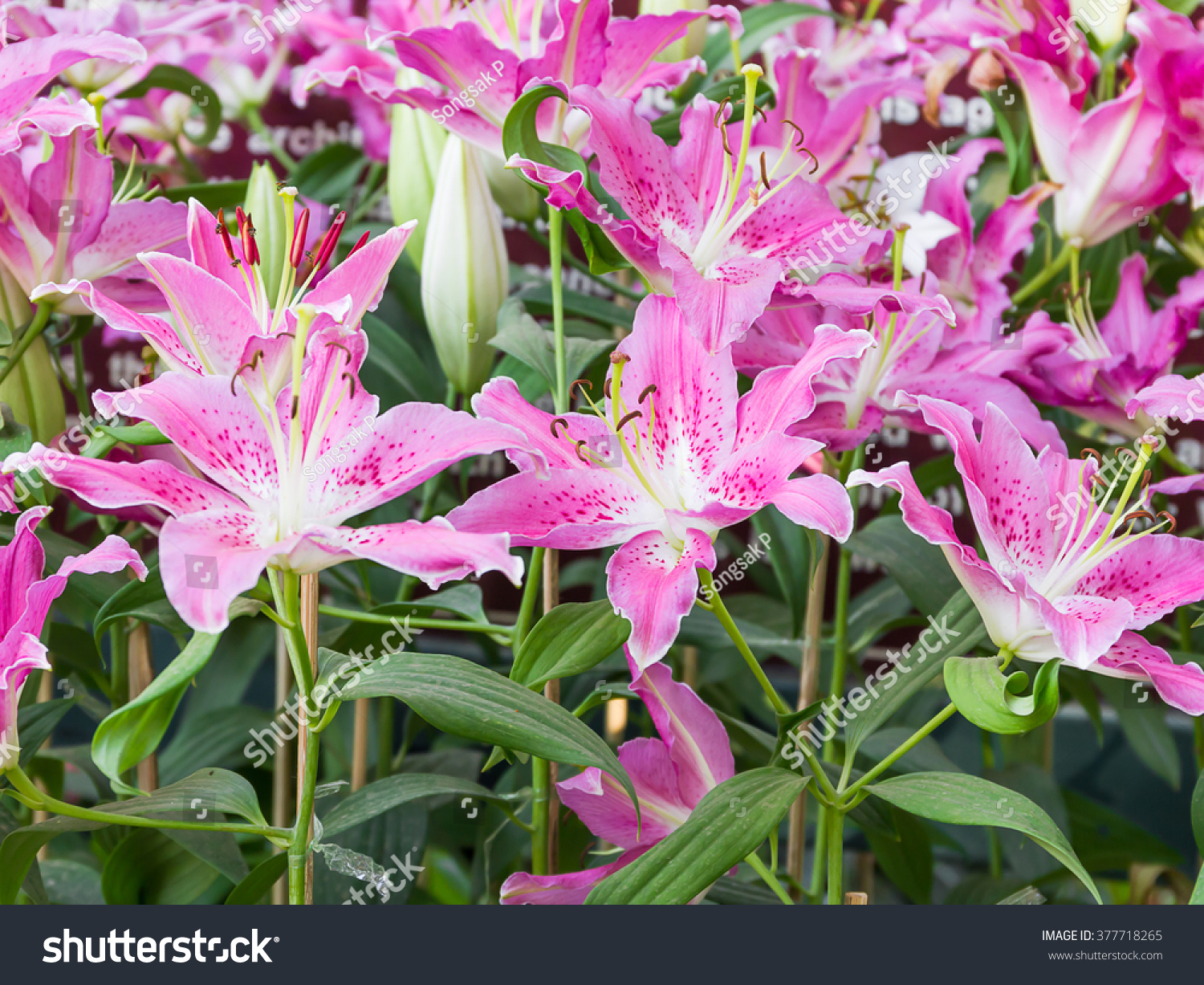 Close Up Of Pink Lily Flower In Garden Ez Canvas