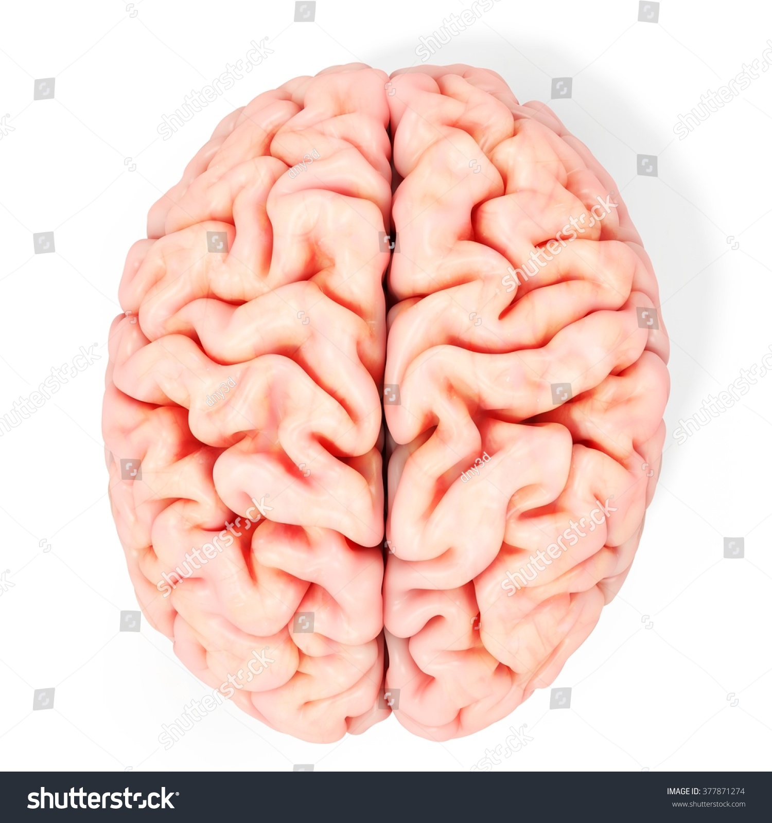 3d Realistic Detailed Brain On White Background Ez Canvas