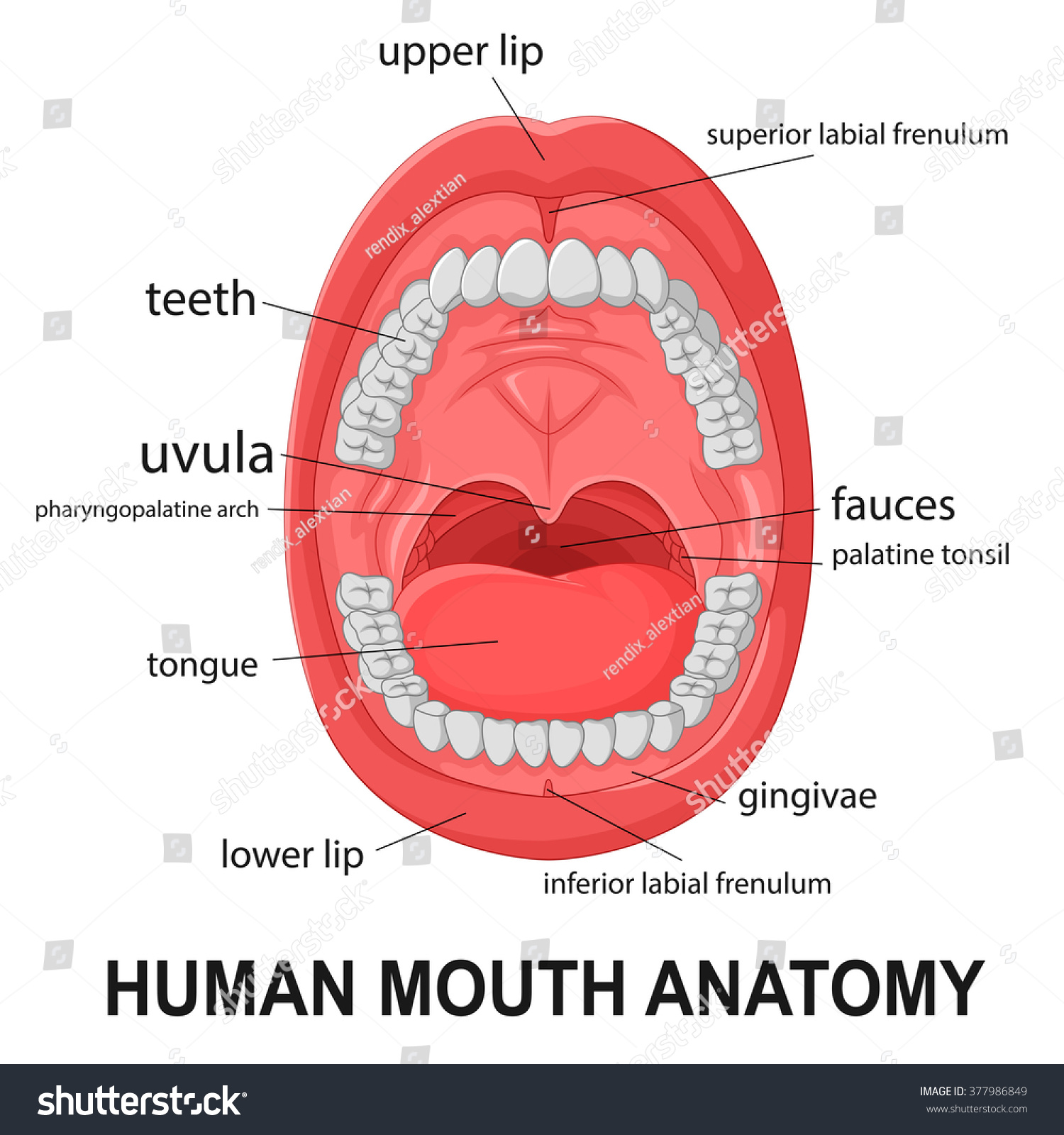 Human Mouth Anatomy Open Mouth Explaining Stock Vector (Royalty Free ...
