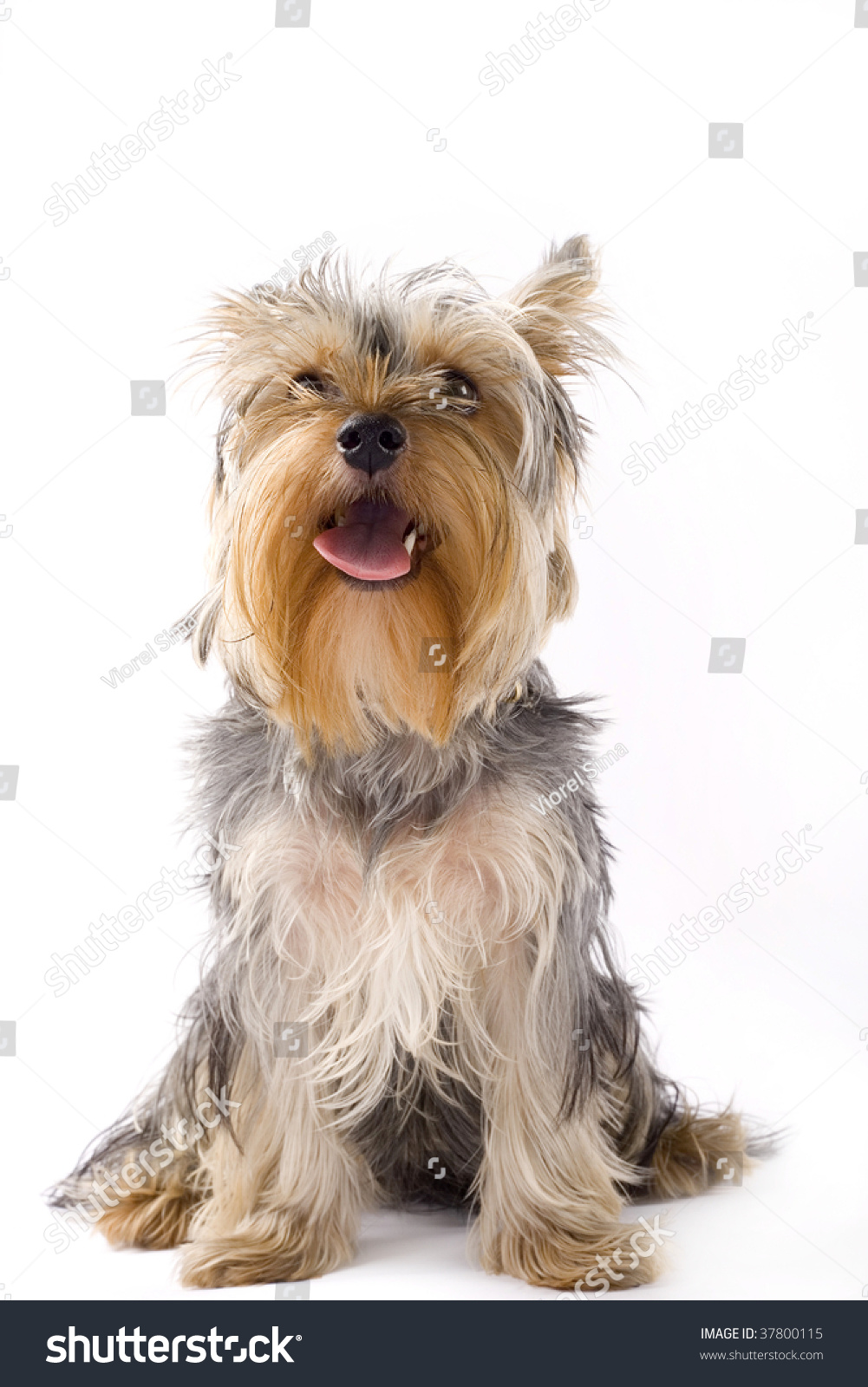 picture of a seated puppy yorkshire terrier over white background
