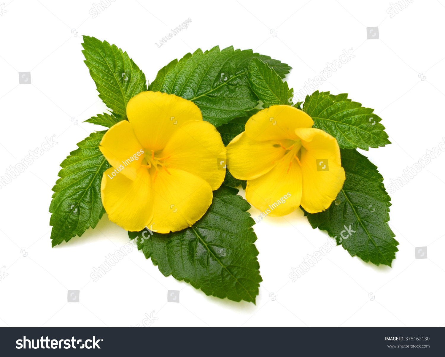 Beautiful Yellow Sage Rose Flowers Dew Stock Photo Edit Now