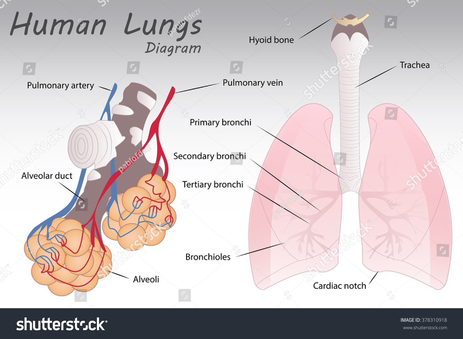 Human Lungs Diagram Stock Vector Royalty Free 378310918 Shutterstock