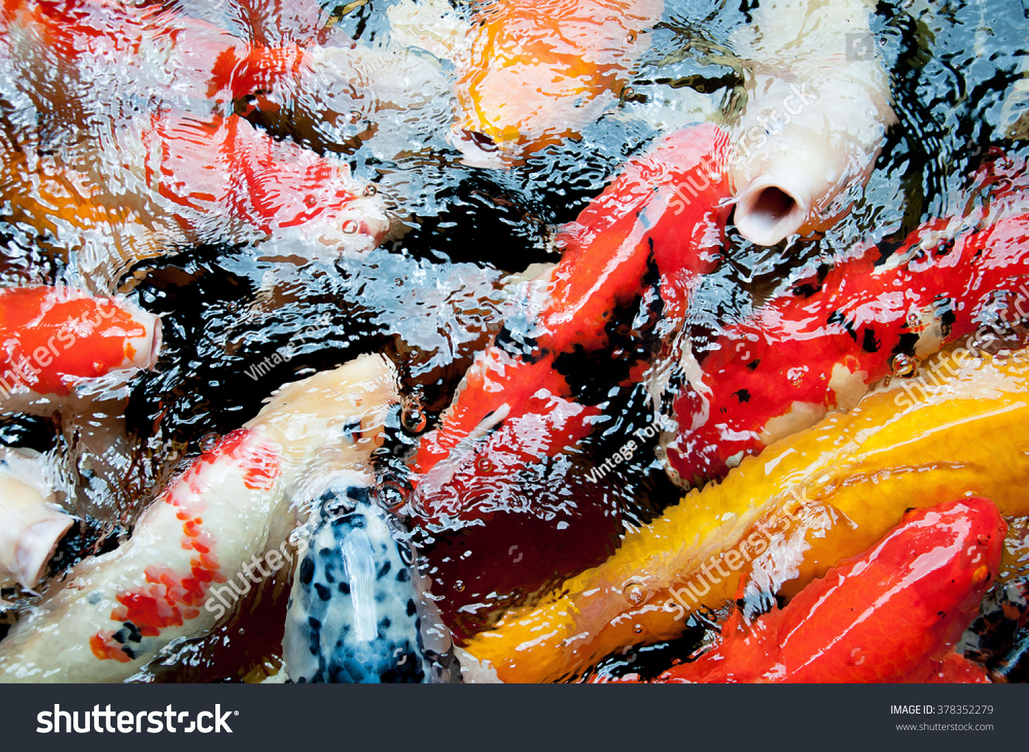 Colorful CARP Fish Koi Fish Known Stock Photo (Royalty Free ...