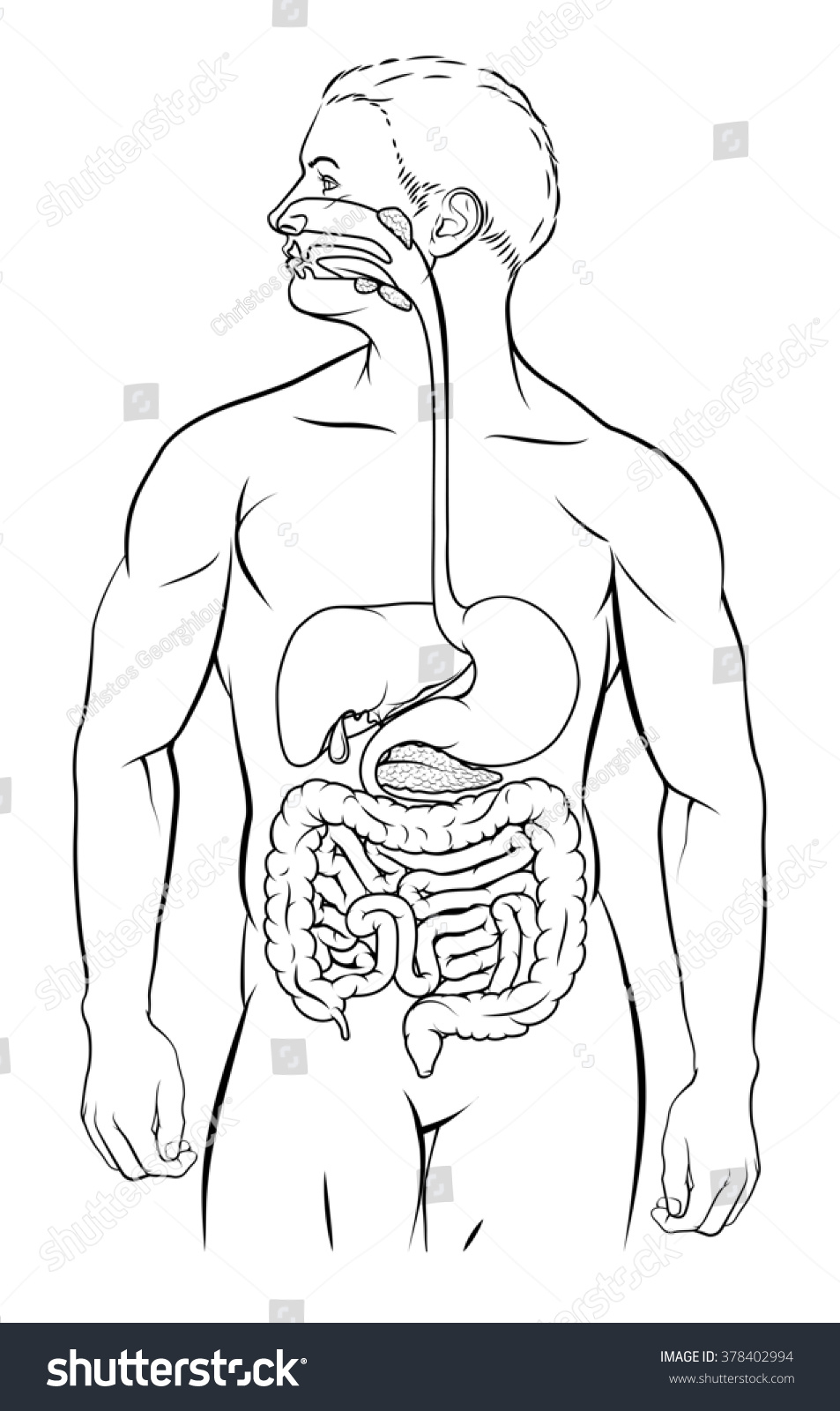 Human digestive system digestive tract alimentary stock human digestive system digestive tract or alimentary canal black and white illustration ccuart Images