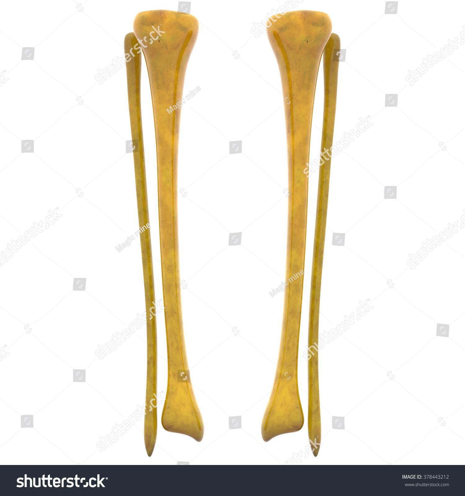 human skeleton tibia fibula bones stock illustration 378443212, Skeleton