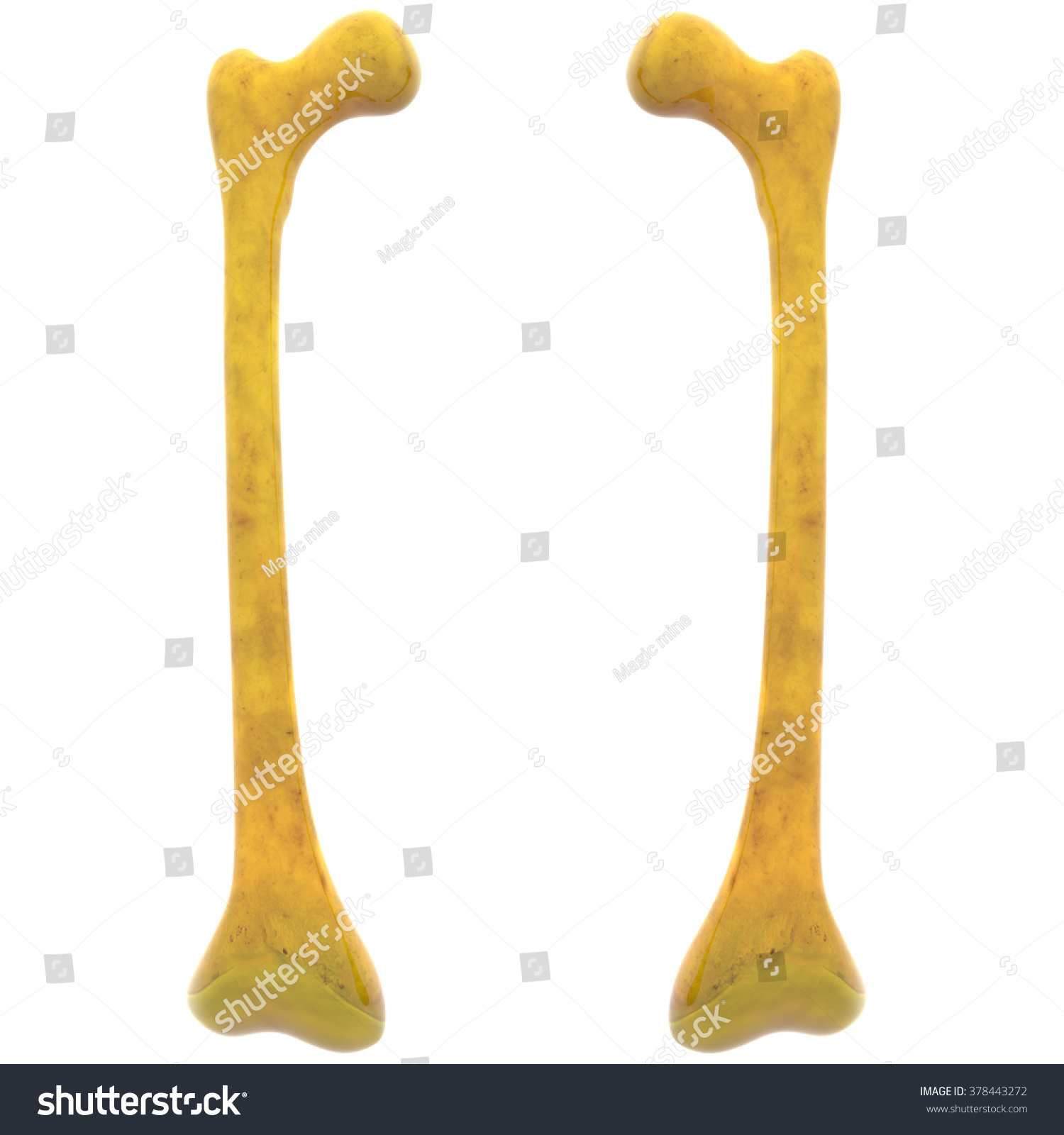Human Skeleton Femur Bones Stock Illustration 378443272 Shutterstock