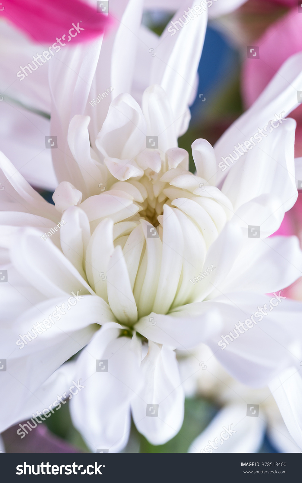 Close Up Of A Beautiful White Chrysanthemum With Delicate Soft