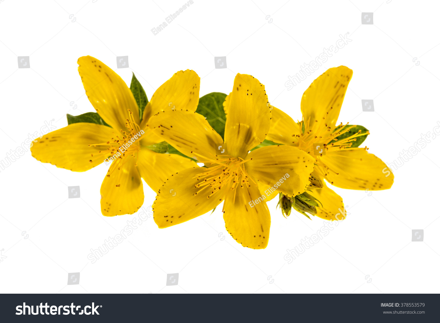 Yellow Flowers Medicinal Plant St Johns Stock Photo Edit Now