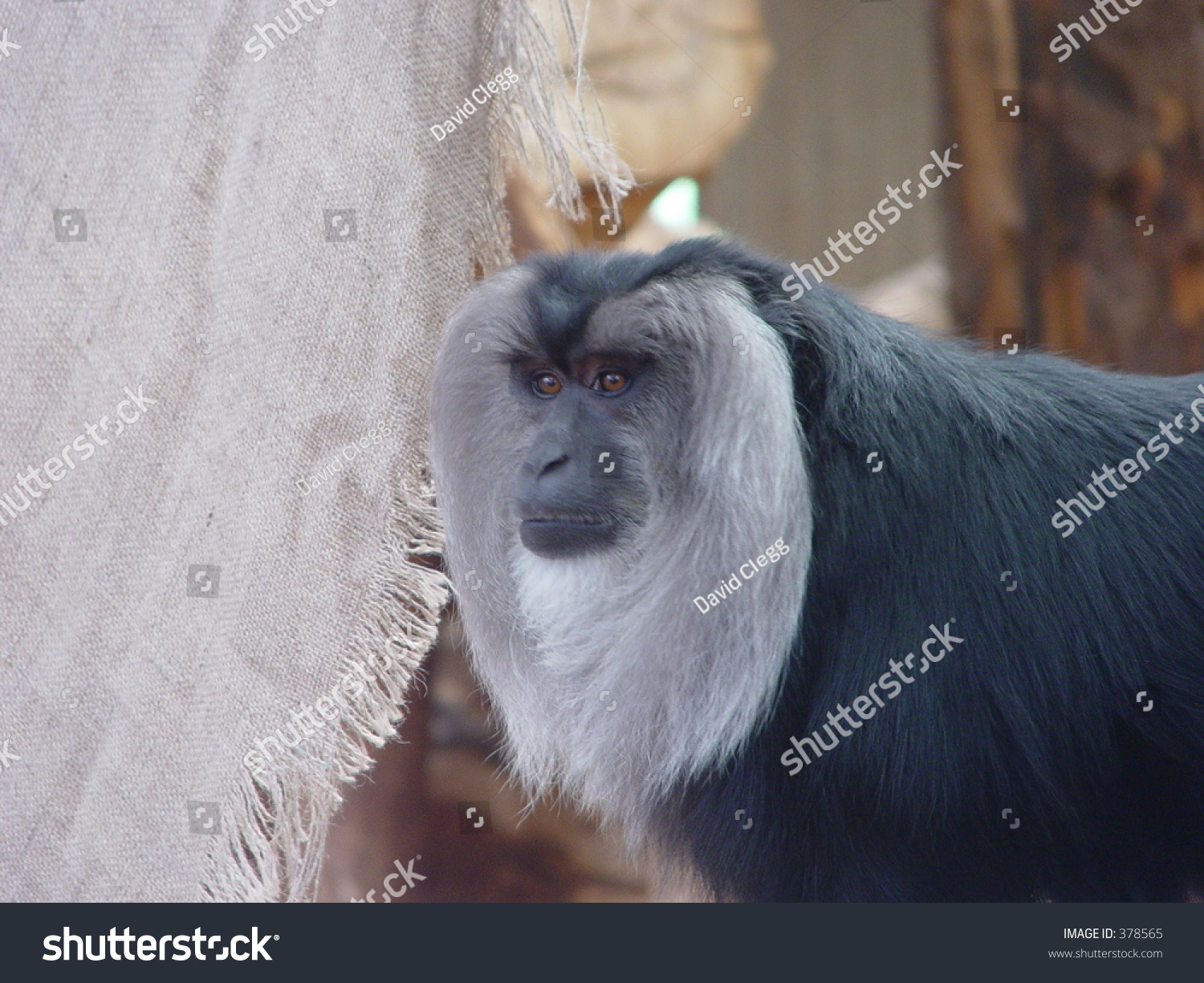 Beardy Monkey: White Bearded Monkey Stock Photo 378565 : Shutterstock