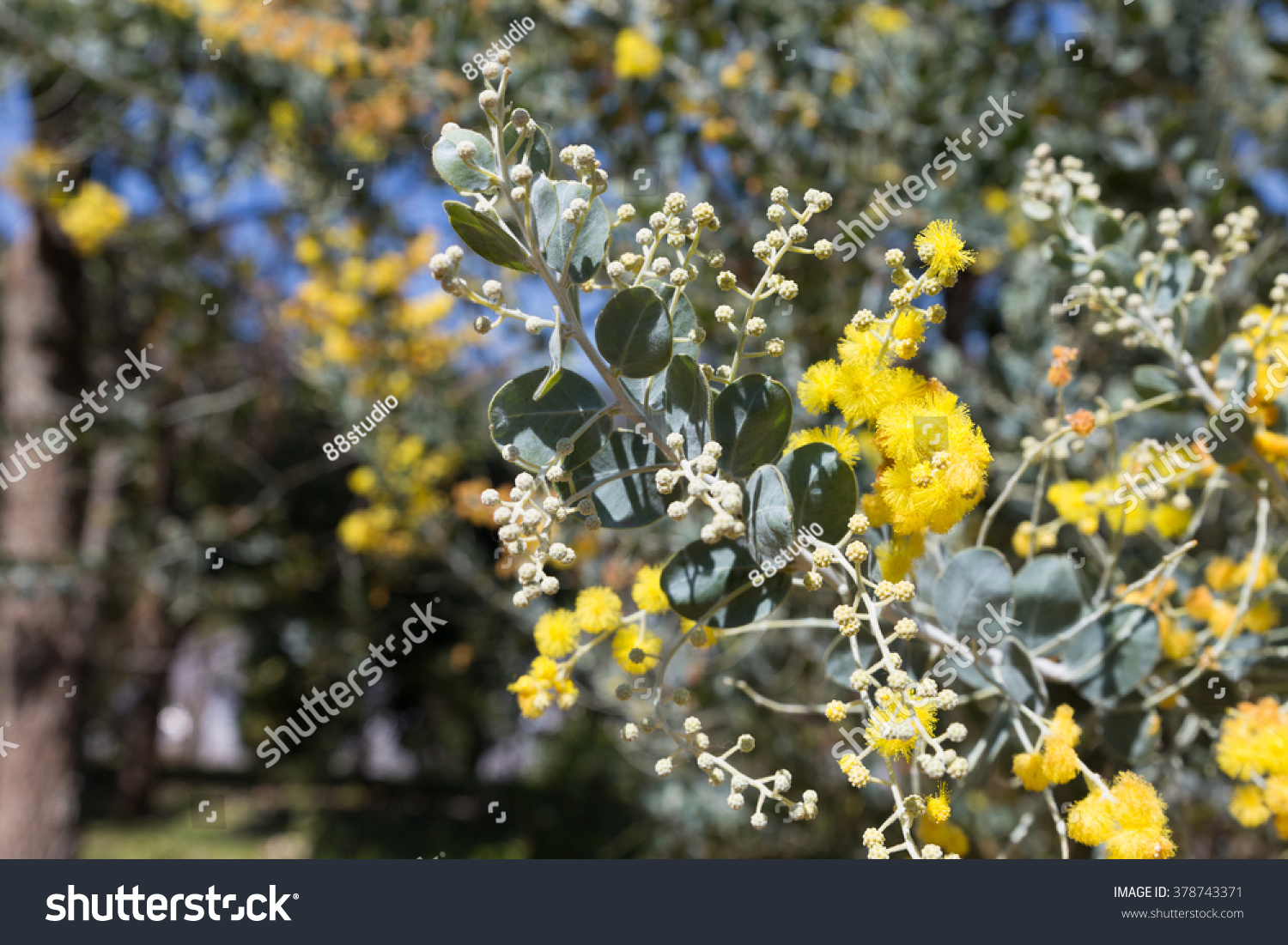 Blooming Yellow Flower Pearl Acacia Tree Stock Photo Edit Now