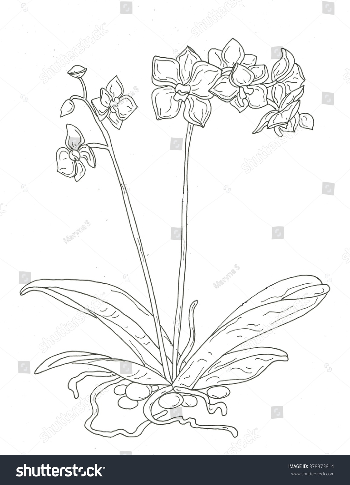 Orchid Coloring Page Stock Illustration 378873814
