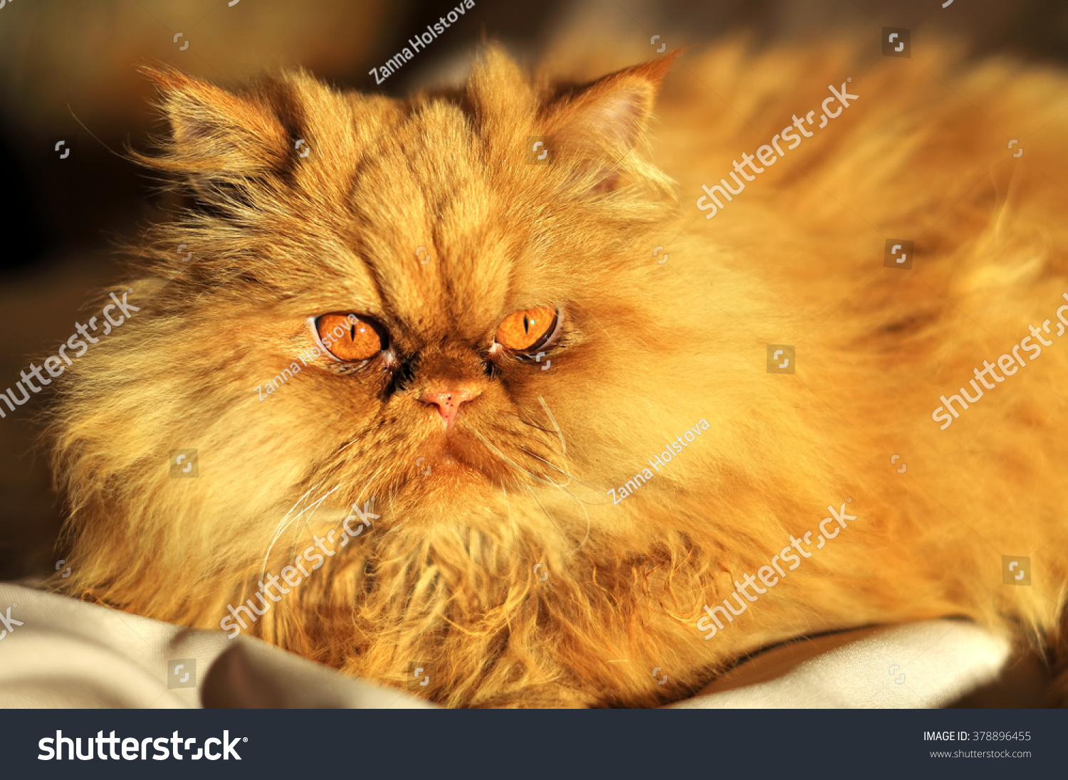 Cute Red Persian Cat Portrait Big Stock Shutterstock